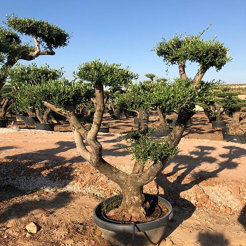 Cloud Olive Trees For Sale