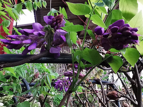 Large Japanese Wisteria Espalier Trees For Sale