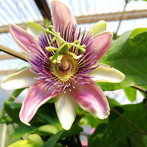 Passion Flower Pyramids. Passiflora x Belotii