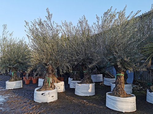 Large Ancient Gnarled Olive Trees For Sale
