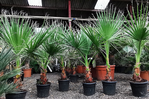 Washingtonia Filifera Palm Trees For Sale