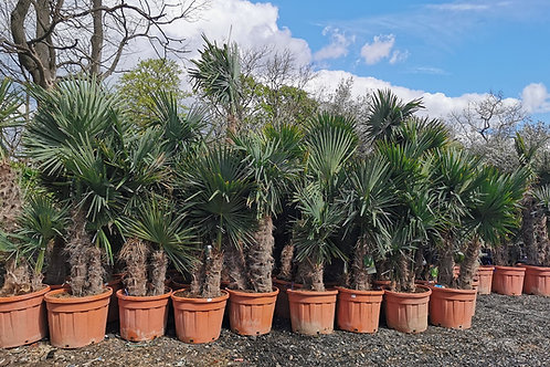 Quality Cold Hardy Trachycarpus Fortunei Palm Tree Double Trunk and Groups.