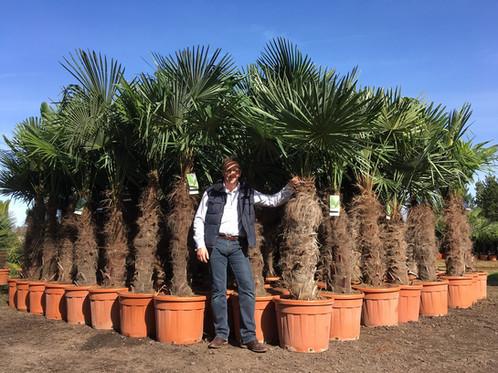 trachycarpus fortunei chusan palm windmill palm free uk. Black Bedroom Furniture Sets. Home Design Ideas