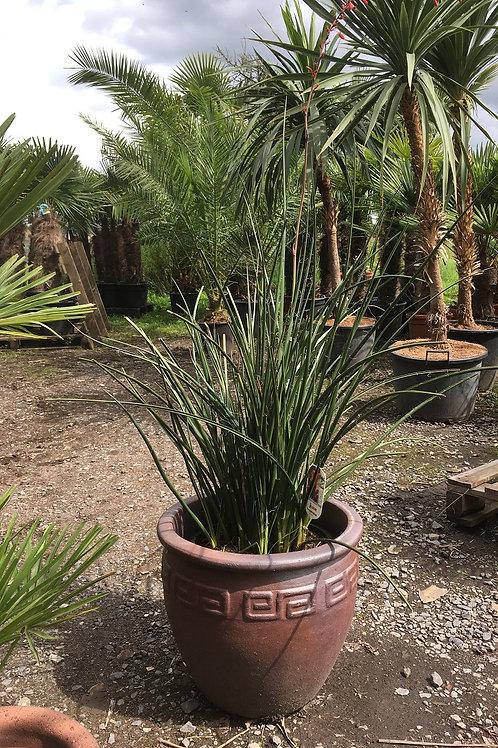 Hesperaloe Parviflora and Rustic Pot