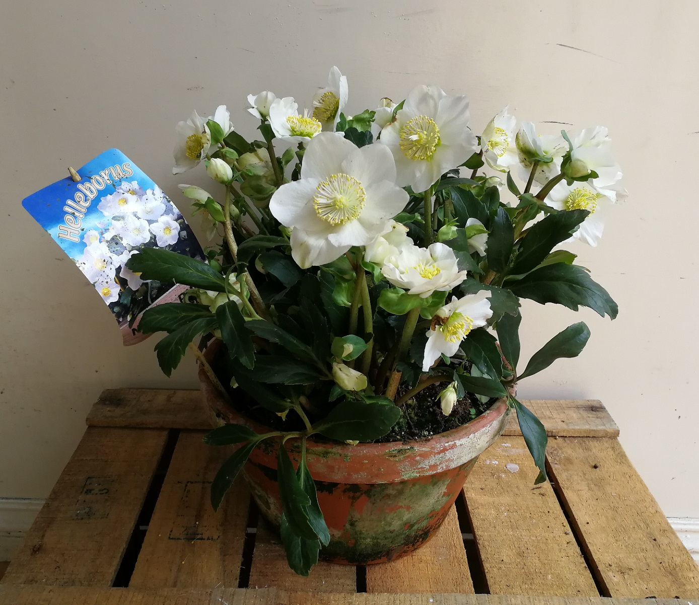 Christmas Rose Plants