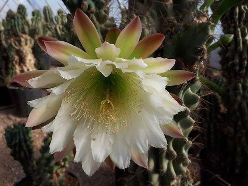Cereus Peruvianus Monstruosus Cacti