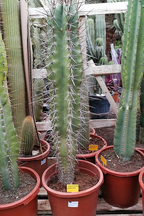 Large neocardenasia Herzogiana Cactus For Sale. Large Base Ball Bat Cactus