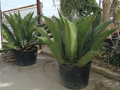 Extra large Agave Plants for sale