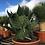 Specimen Cacti