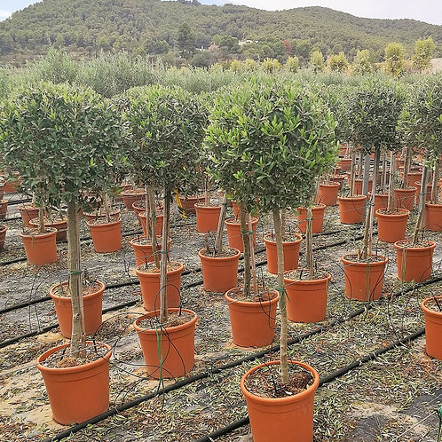Ball Olive Trees. Topiary Pruned Olive Trees For Sale