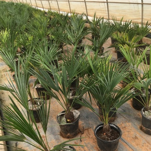Trachycarpus Manipur,'Naga Hills' Palm Trees. Free UK delivery.