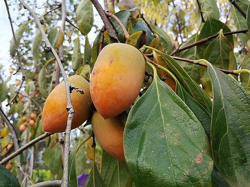 Diospyros Kaki Pendula. Weeping Japanese Persimmon. Fruit Trees