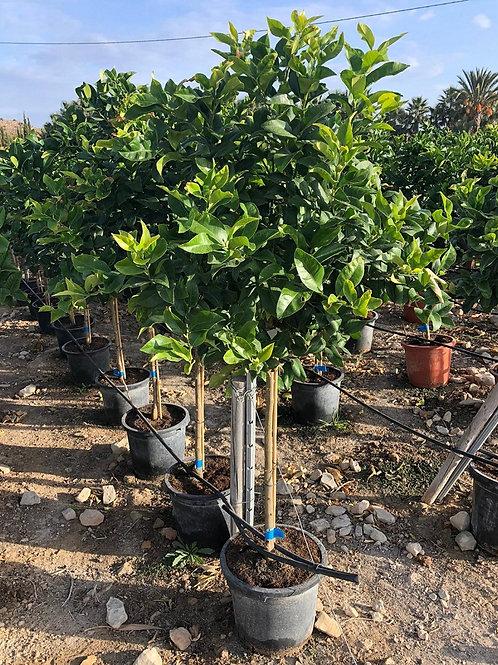 Citrus Lemon Trees variety 'Eureka'