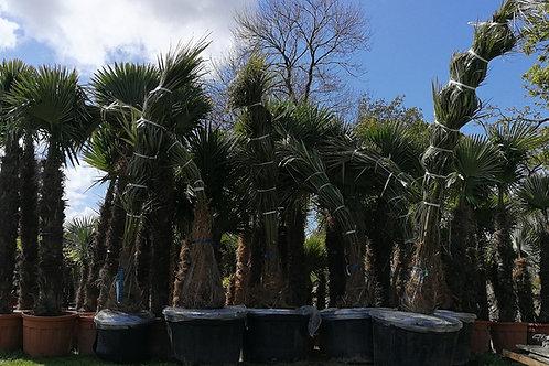PARAJUBAEA TORALLYI, Bolivian Mountain Coconut. Free UK Delivery!