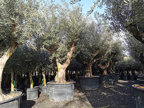 Large Olive Trees with Branched Crowns