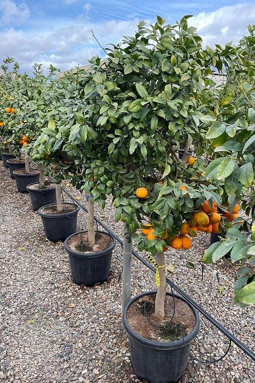 Citrus Limonia Osbeck Tree. Rangpur Lime Trees