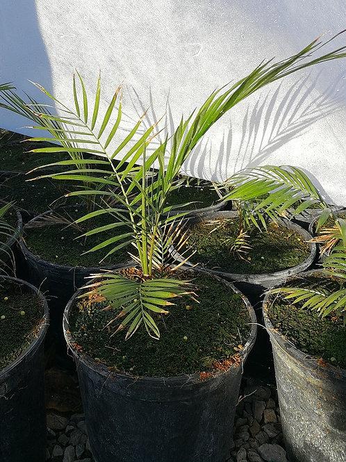 Lytocaryum Weddellianum. Minature Coconut Palm. Dwarf Cocos Palm.