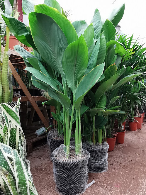 Large Curcuma Zeodaria Plants For Sale.