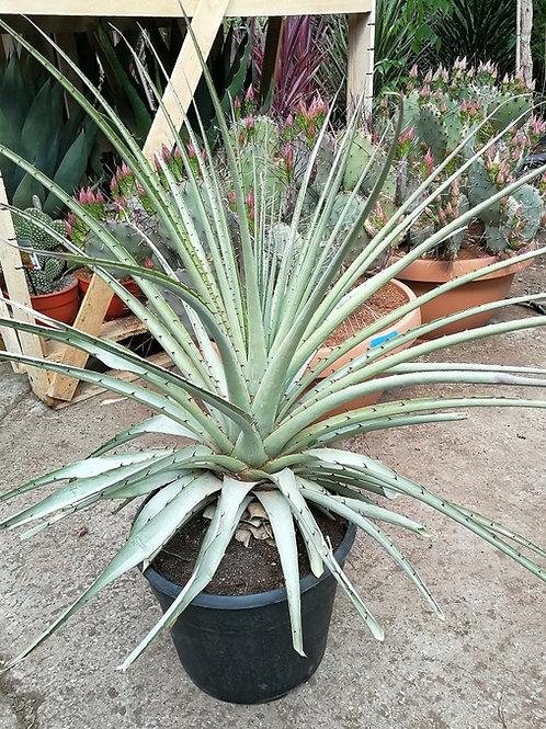 Large Puya Assurgens Plants for sale