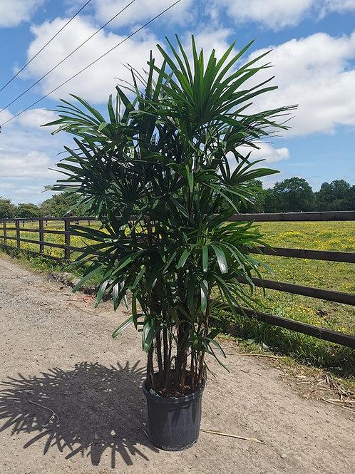 RHAPIS EXCELSA. Lady Palm