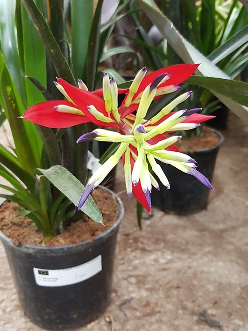 Bromeliad Billbergia 'Halleyluya'.
