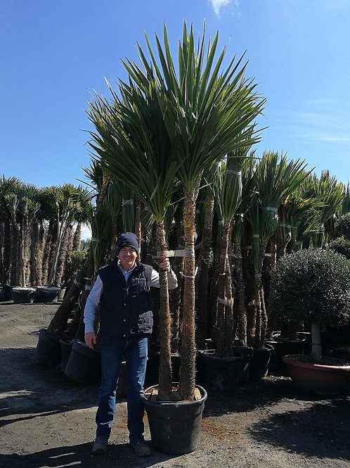 Large Cordyline Australis Plants.Multi Trunk and Multi Head