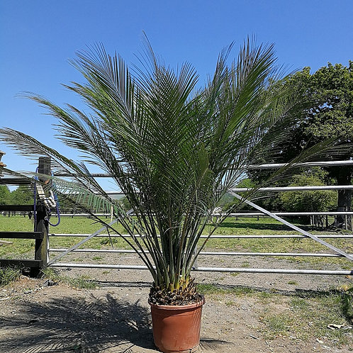 Large Macrozamia  Communis For Sale