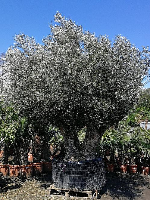 Specimen Double Trunk Ancient Olive Trees
