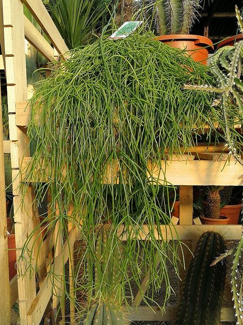 Rhipsalis Capilliformis. Hanging Cactus. Old Man's Beard Cactus.