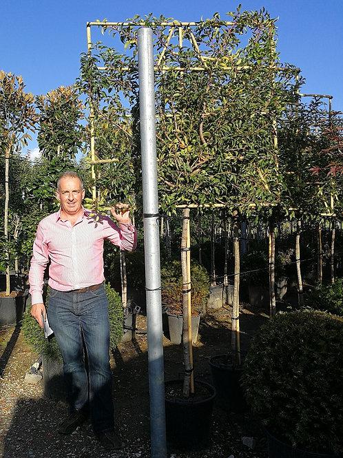 Prunus  Lusitanica Pleached Trees. Portugal Laurel Pleached Trees.