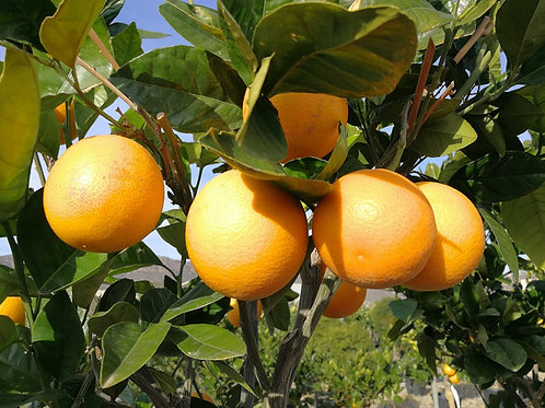 Citrus Sinensis Sanguinelli Trees. Blood Orange Trees For Sale