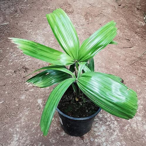Licuala Peltata var 'Sumawongii'. Elegant Palm.