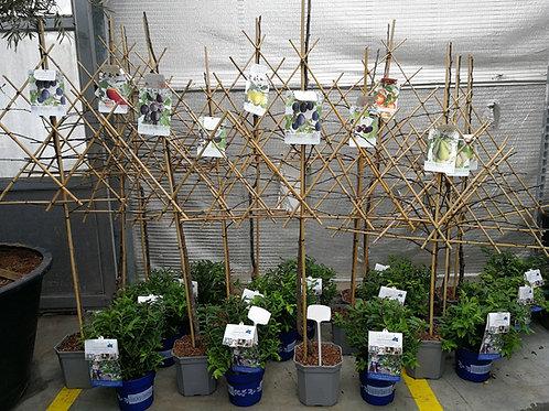 Espalier Fruit Trees. Pear, Apple, Cherry, Plum Espalier Fruit Trees For Sale