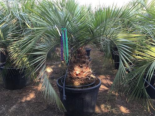 Butia Eriospatha Palm Tree