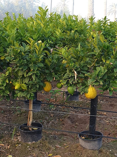 Citrus Medica 'Cidro'. French Lemon Tree. Citron Tree.