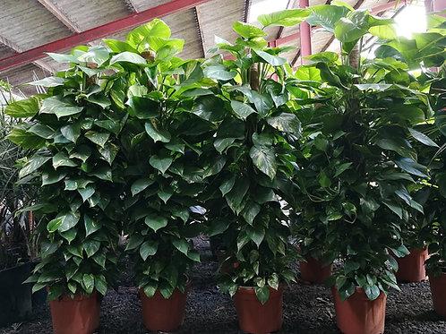 Epipremnum Aureum. Tall Golden Pothos Plants For Sale