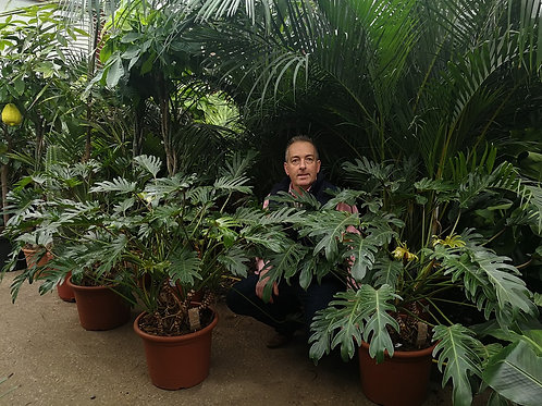 Large Philodendron Xanadu Plants For Sale