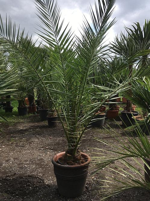 Phoenix Canariensis Palm Tree and Rustic Pot