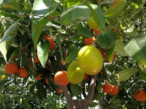 Large Citrus Hybrid Trees. Mandarin Orange and Limequat.