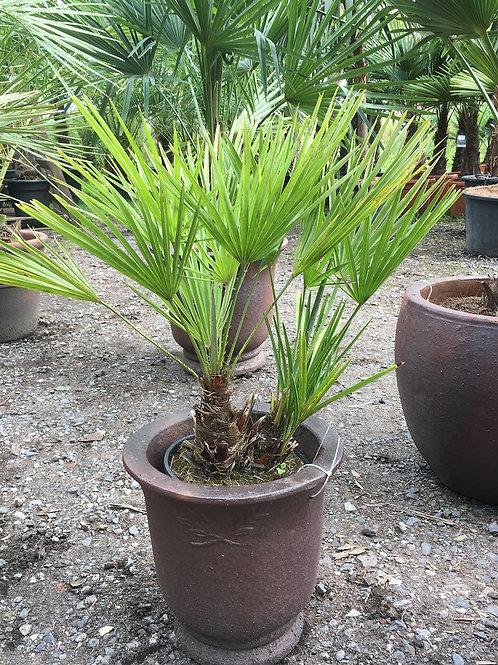 Chamaerops Humilis and Rustic Pot