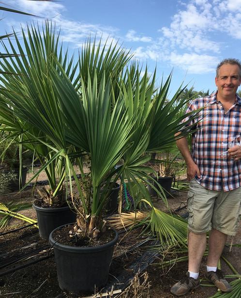 Sabal Minor Dwarf Palmetto Free Uk Delivery Palm