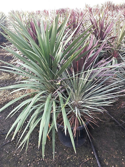 Tri- coloured Cordyline Group.