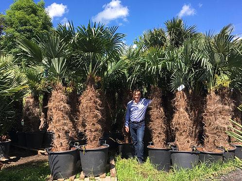 Trachycarpus Fortunei, Windmill Palm Trees
