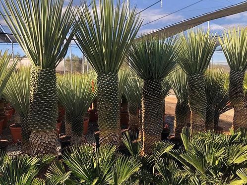 Specimen Yucca Rigida