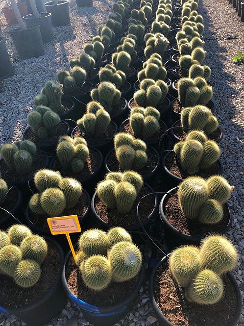 Eriocactus Leninghausii Cactus.  Paroidia Leninghausii Cactus