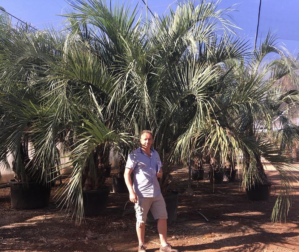 Butia Capitata. The Palm Tree Company