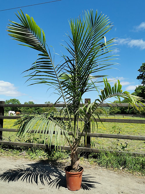 Ravenea Rivularis Palm Tree. Majesty Palm Trees For Sale