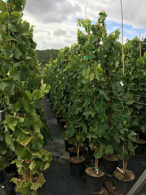 Grape Vines. Vitis vinifera 'Moscatel Italia'.