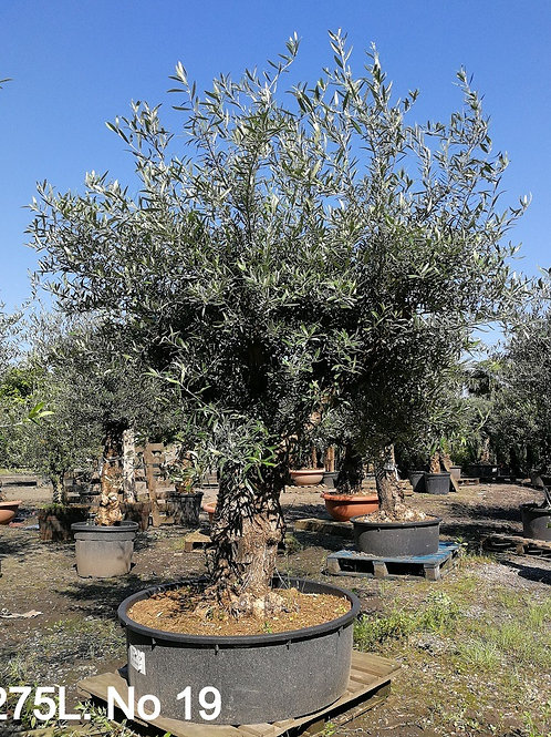 Large Old Gnarled Olive Trees For Sale