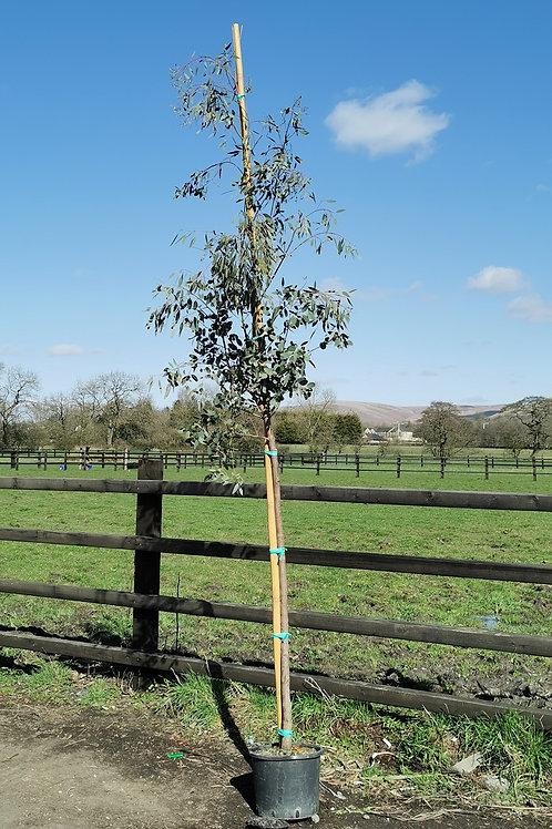 EUCALYPTUS GUNNII. Cider Gum Trees.